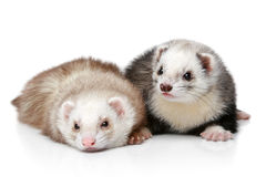 Two polecat resting on a white background Royalty Free Stock Photo