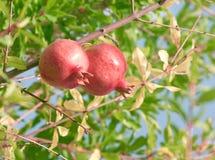 Two pomegranates stock photos
