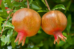 Two pomegranates on a branch Royalty Free Stock Photo