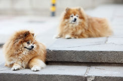 Two pomeranian stock images