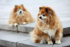 Two pomeranian Stock Image