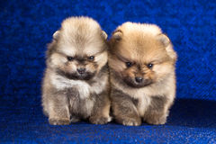 Two Pomeranian puppies age of 1,5 month over blue background Royalty Free Stock Photos