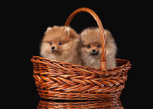 Two Pomeranian puppies on black Royalty Free Stock Photo