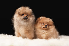 Two Pomeranian puppies Stock Photography