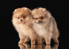 Two Pomeranian puppies Royalty Free Stock Image