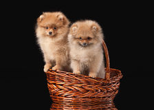 Two Pomeranian puppies Royalty Free Stock Photo