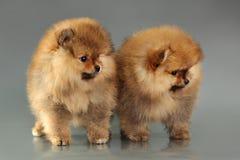 Two pomeranian puppies Stock Photos