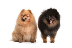 Two pomeranian puppies on white Stock Photography