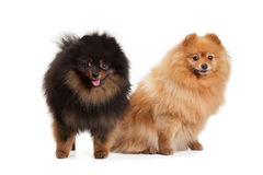 Two pomeranian puppies on white Stock Photo