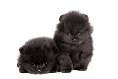 Two Pomeranian Puppies on white Stock Photos