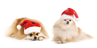 Two Pomeranian Santas Royalty Free Stock Photography