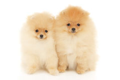 Two Pomeranian Spitz puppies Stock Photo