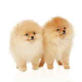 Two Pomeranian Spitz puppies Stock Photos