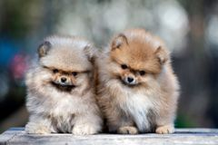 Two pomeranian spitz puppies posing outdoors together Stock Photos