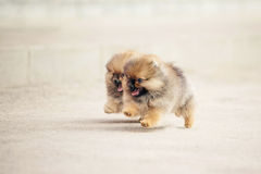 Two Pomeranian Spitz puppies Stock Images