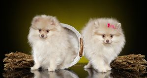 Two Pomeranian spitz puppies. On dark-yellow background royalty free stock photography