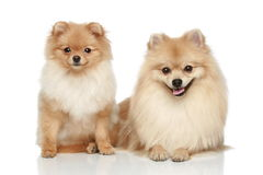 Two Pomeranian Spitz puppy on a white background Stock Image