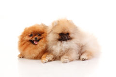 Two Pomeranian Spitz on the white background Stock Images
