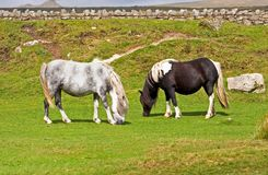 Two ponies. Grazing short grass royalty free stock photo