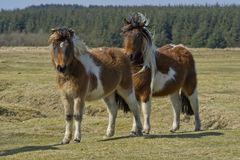 Two ponies Royalty Free Stock Photos