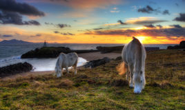 Two ponies grazing. At llanddwyn on the island of Anglesey, North Wales Stock Images