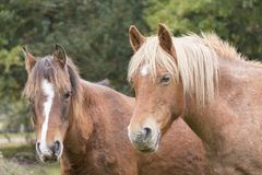 New Forest ponies Royalty Free Stock Photos