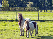 Two ponies Royalty Free Stock Image