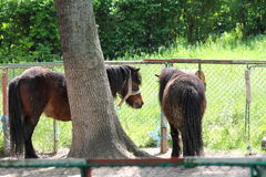 Two ponies. A view with two ponies in an animal enclosure Royalty Free Stock Photography