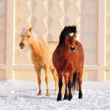 Two ponies in winter on snow Stock Images