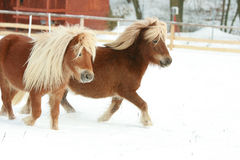 Two ponnies with long mane running in winter Royalty Free Stock Photos