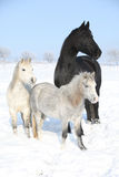 Two ponnies and one friesian mare in winter Royalty Free Stock Photos