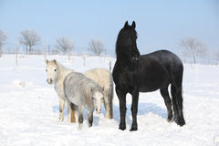 Two ponnies and one friesian mare in winter Royalty Free Stock Photo