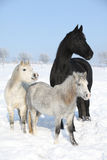 Two ponnies and one friesian mare in winter Royalty Free Stock Image