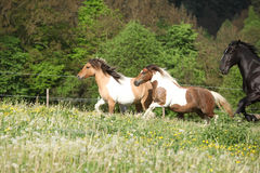 Two ponnies running before black kladruber Stock Images