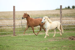 Two ponnies together on pasturage Royalty Free Stock Photography