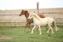 Two ponnies together on pasturage Royalty Free Stock Photo