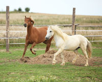 Two ponnies together on pasturage Stock Images