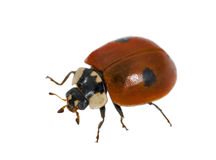 Two ponts ladybird Royalty Free Stock Image