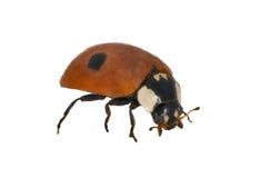 Two ponts ladybug Royalty Free Stock Images