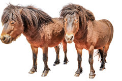 Two Pony Horses Royalty Free Stock Photos