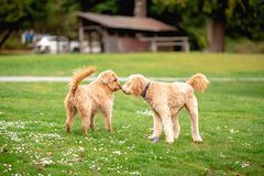 Two poodle cross mix dogs in a park greeting eachother. stock photo