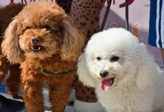 Two poodle dog. Two lovely poodle dogs, in brown and white beautiful fur Stock Photography