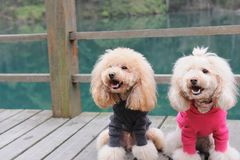 Two poodle dog standing. On wooden road near the river Royalty Free Stock Photos