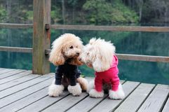 Two poodle dog standing. On wooden road near the river Royalty Free Stock Image