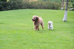 Two poodle dogs running Stock Image