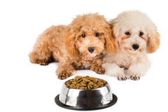 Two poodle puppies next to a bowl full of kibbles Stock Photo
