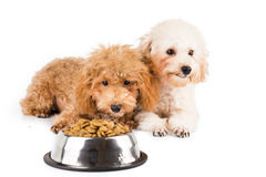 Two poodle puppies next to a bowl full of kibbles Royalty Free Stock Photos