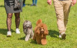 Two poodle walking in the park. With owner Royalty Free Stock Photos