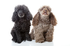 Two Poodles Royalty Free Stock Image