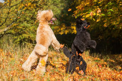 Two poodles with autumn leaves royalty free stock photos
